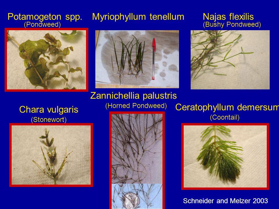 Potamogeton spp.Najas flexilis Chara vulgaris (Pondweed) (Stonewort) (Bushy Pondweed) (Coontail) Ceratophyllum demersum Myriophyllum tenellum Zannichellia palustris (Horned Pondweed) Schneider and Melzer 2003