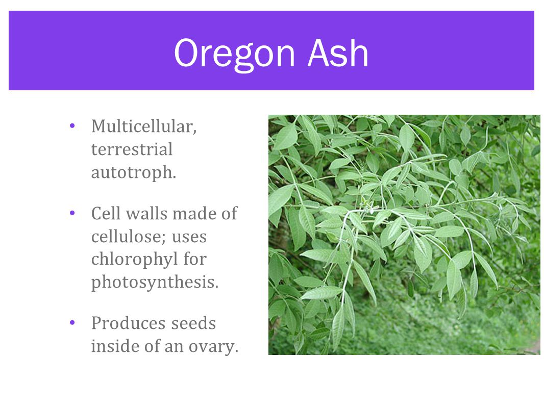 Oregon Ash Multicellular, terrestrial autotroph. Cell walls made of cellulose; uses chlorophyl for photosynthesis. Produces seeds inside of an ovary.