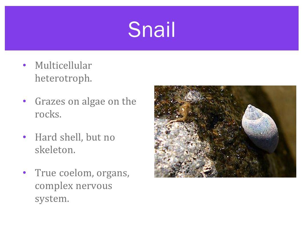 Snail Multicellular heterotroph. Grazes on algae on the rocks. Hard shell, but no skeleton. True coelom, organs, complex nervous system.