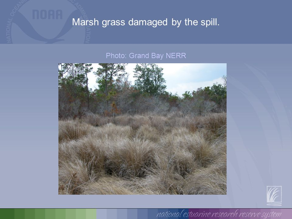 Algal mats growing on the surface of the lake amid damaged marsh grass. Photo: Grand Bay NERR