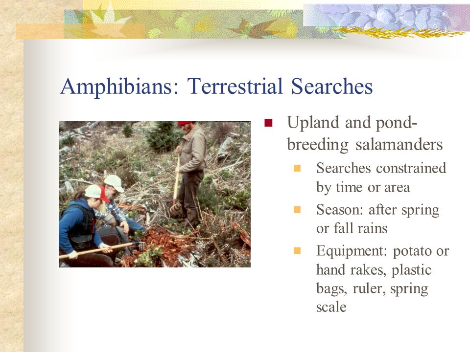 Amphibians: Terrestrial Searches Upland and pond- breeding salamanders Searches constrained by time or area Season: after spring or fall rains Equipment: potato or hand rakes, plastic bags, ruler, spring scale