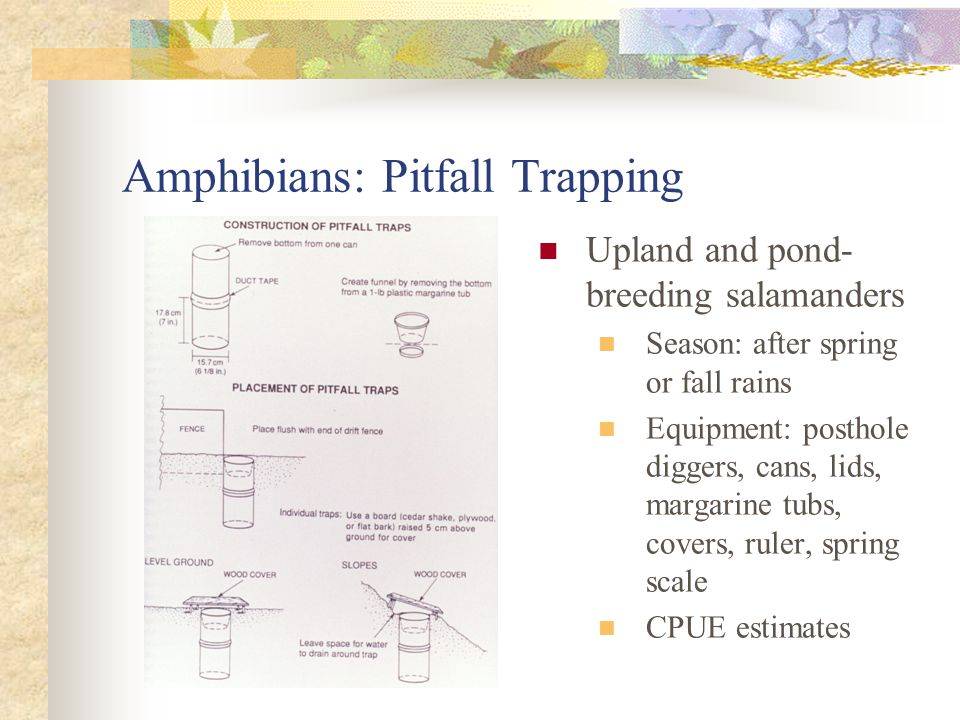 Amphibians: Pitfall Trapping Upland and pond- breeding salamanders Season: after spring or fall rains Equipment: posthole diggers, cans, lids, margarine tubs, covers, ruler, spring scale CPUE estimates