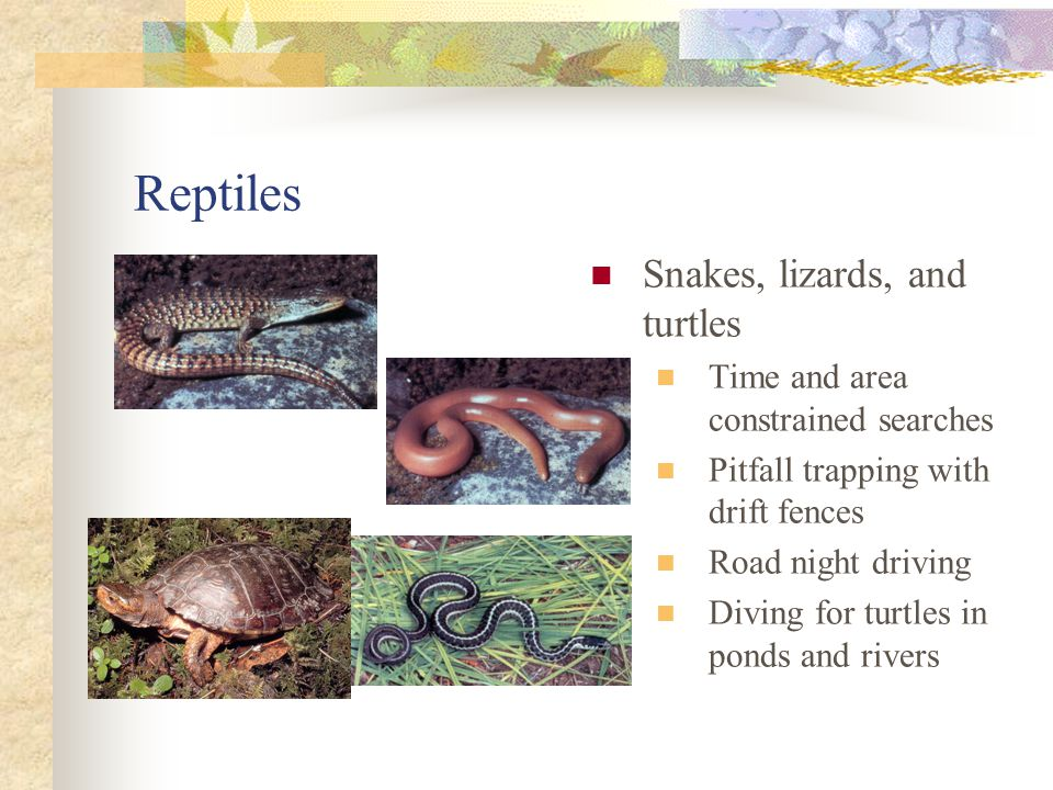 Reptiles Snakes, lizards, and turtles Time and area constrained searches Pitfall trapping with drift fences Road night driving Diving for turtles in ponds and rivers
