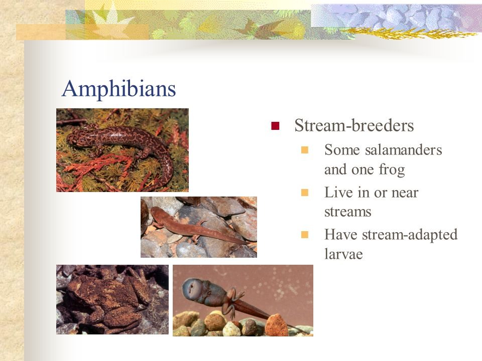 Amphibians Stream-breeders Some salamanders and one frog Live in or near streams Have stream-adapted larvae