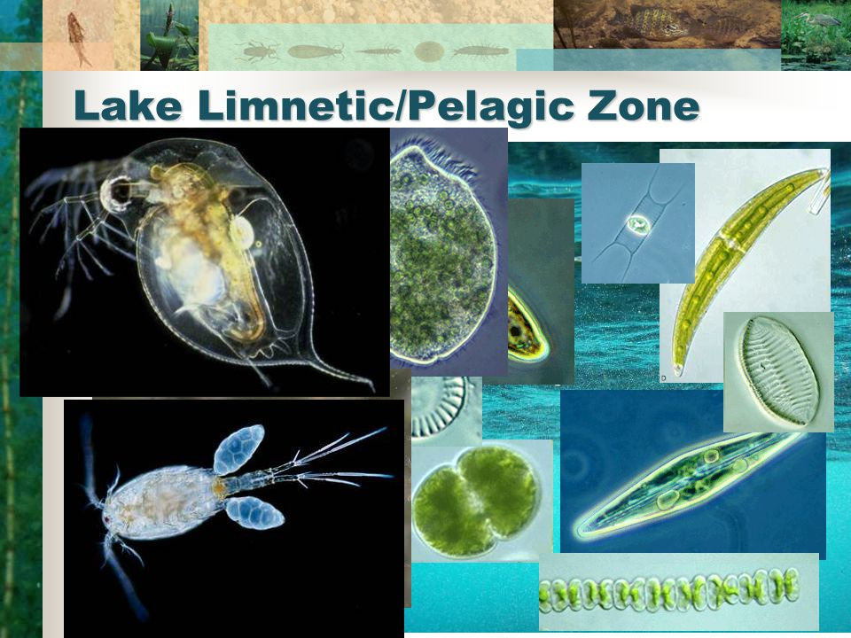 Lake Limnetic/Pelagic Zone Functions Plankton Zooplankton