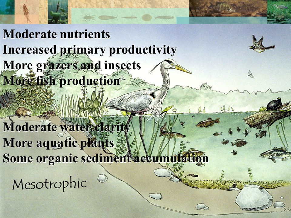 TROPHIC STATE Moderate nutrients Increased primary productivity More grazers and insects More fish production Moderate water clarity More aquatic plants Some organic sediment accumulation Moderate nutrients Increased primary productivity More grazers and insects More fish production Moderate water clarity More aquatic plants Some organic sediment accumulation