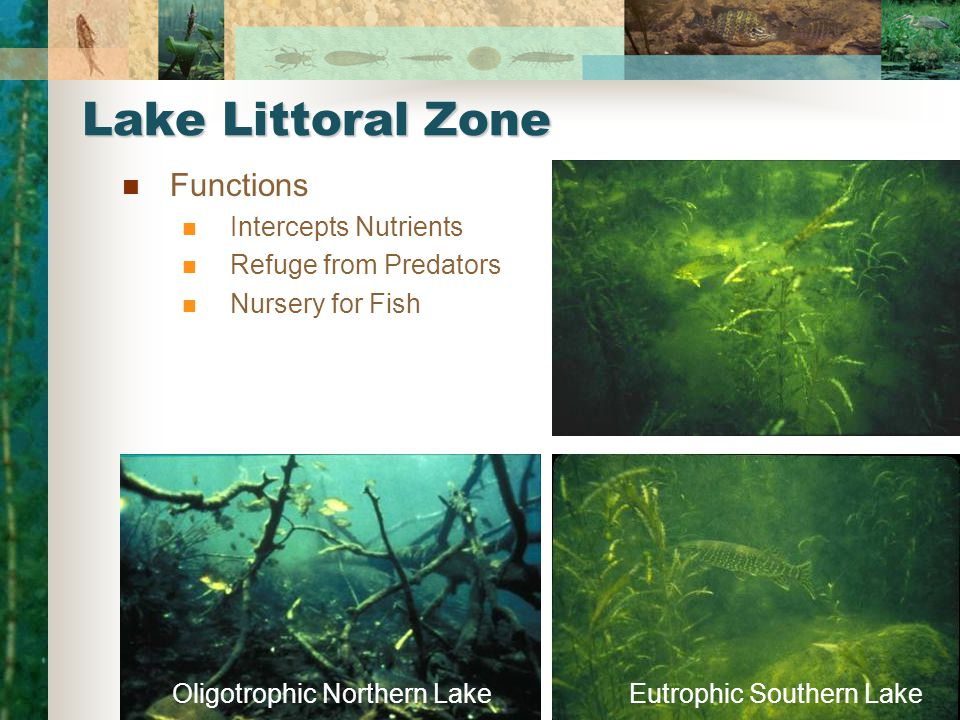 Oligotrophic Northern LakeEutrophic Southern Lake Lake Littoral Zone Functions Intercepts Nutrients Refuge from Predators Nursery for Fish