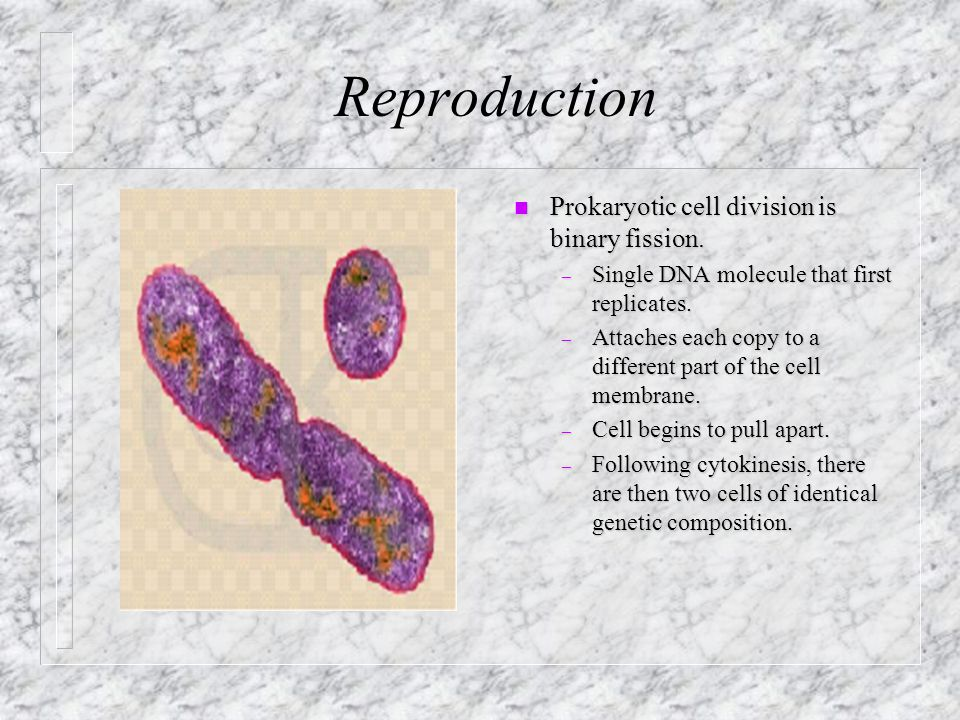 Reproduction n Prokaryotic cell division is binary fission.