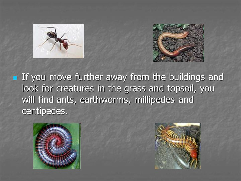 If you move further away from the buildings and look for creatures in the grass and topsoil, you will find ants, earthworms, millipedes and centipedes
