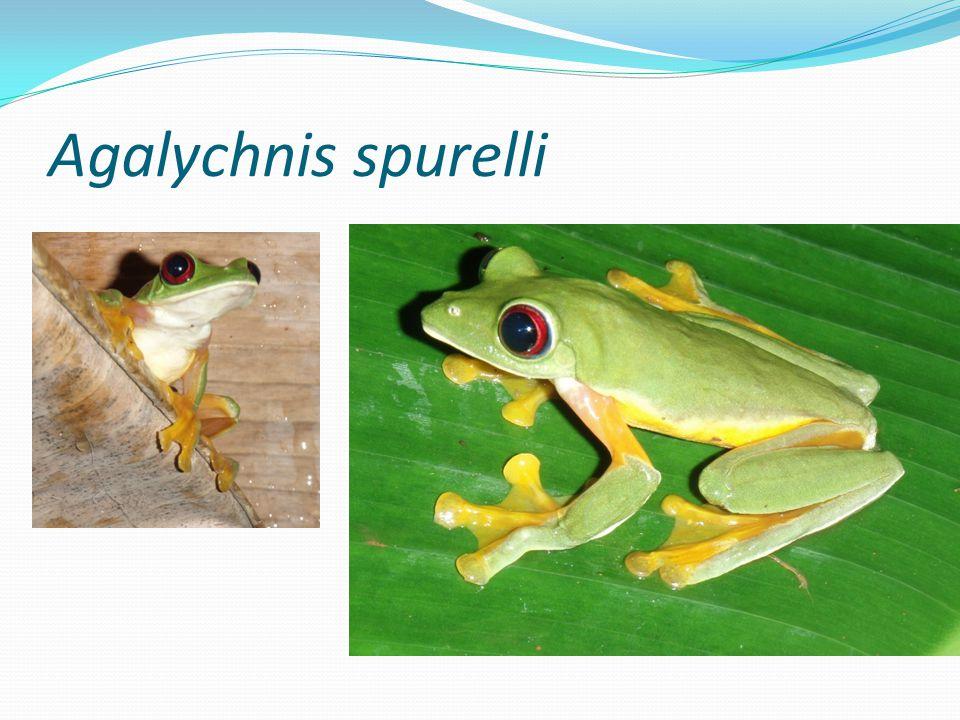 Agalychnis spurelli