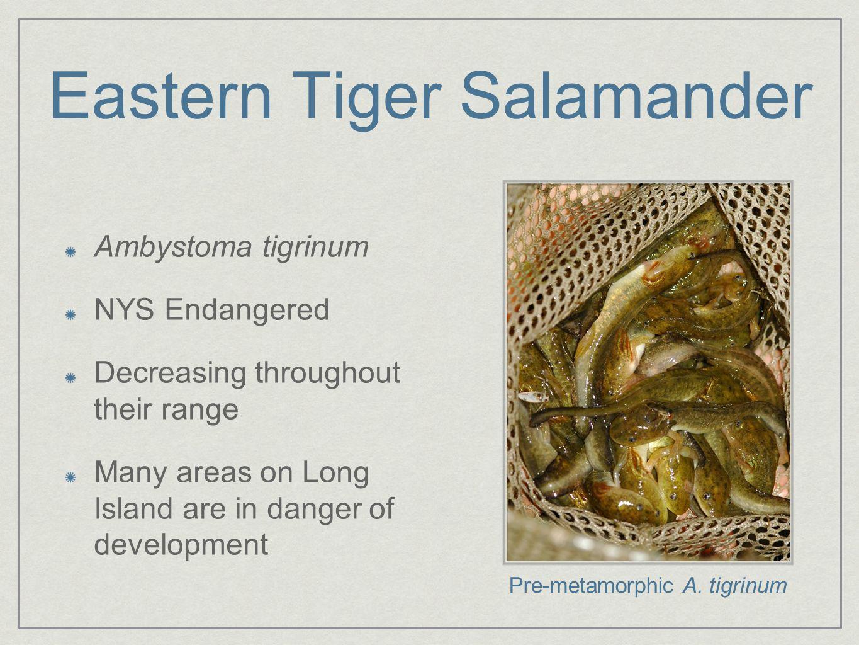 Current Range http://www.dec.state.ny.us/website/dfwmr/wildlife/endspec/tisafs.html
