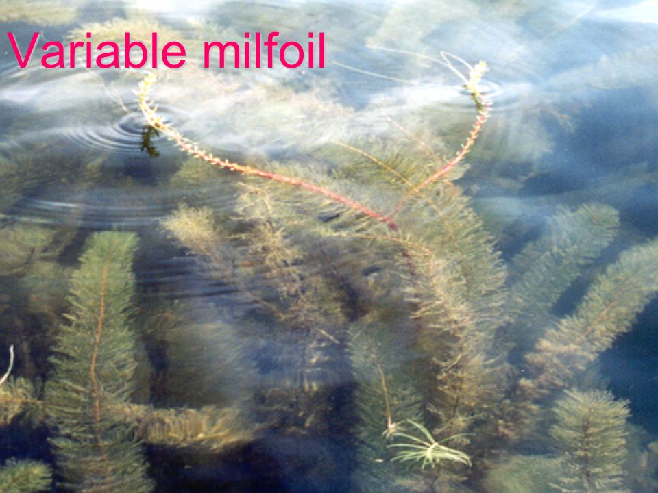 Variable milfoil