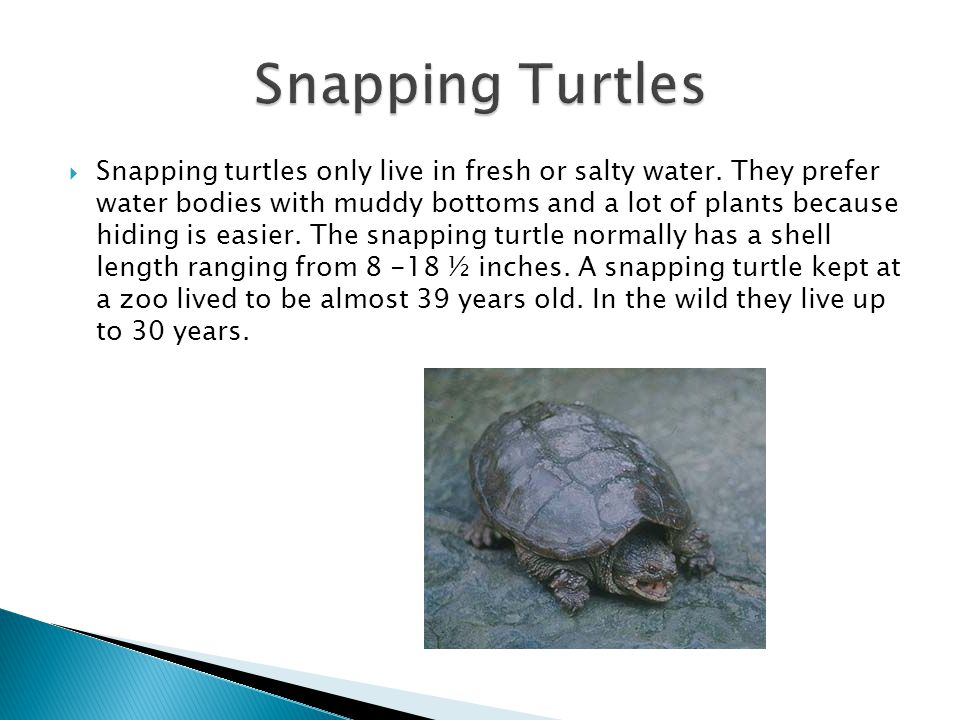  Snapping turtles only live in fresh or salty water.
