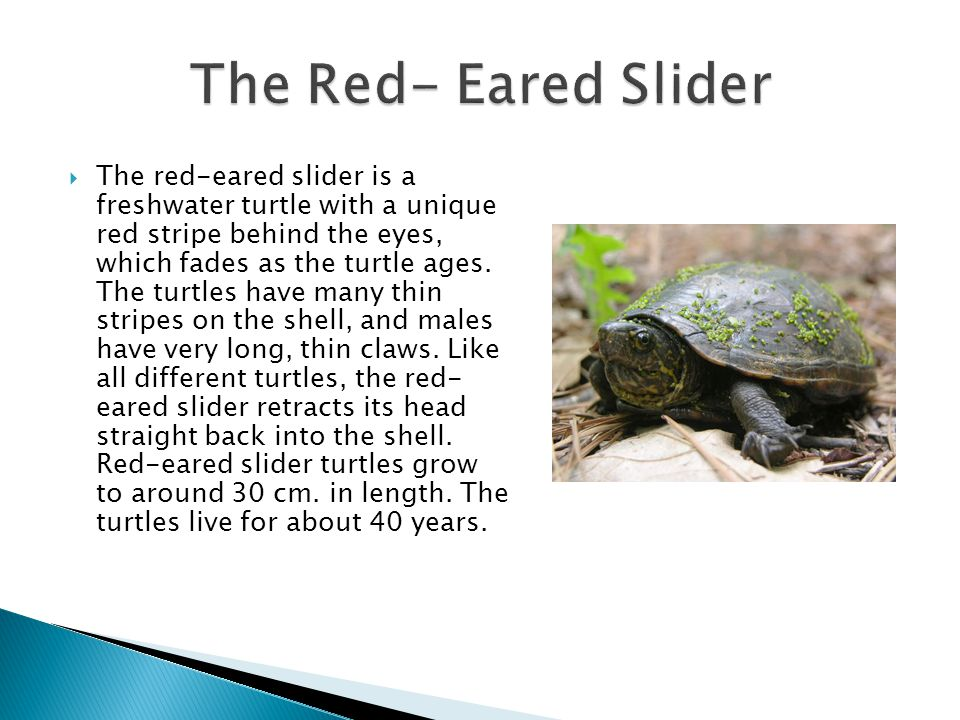  The red-eared slider is a freshwater turtle with a unique red stripe behind the eyes, which fades as the turtle ages.