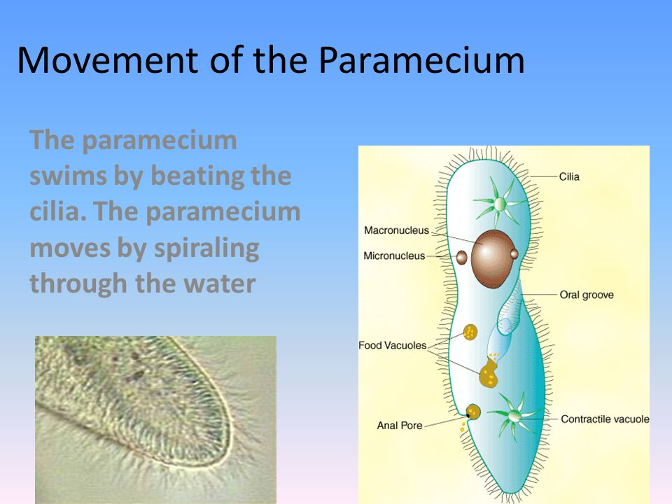 Special Features of Paramecium: It has a slipper-like shape It follows a spiral path while rotating on the long axis It is known for its avoidance behavior.