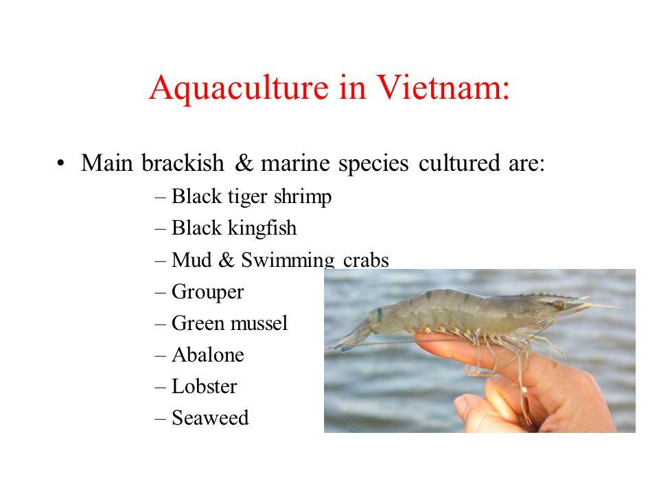 Aquaculture in Vietnam: Main brackish & marine species cultured are: –Black tiger shrimp –Black kingfish –Mud & Swimming crabs –Grouper –Green mussel