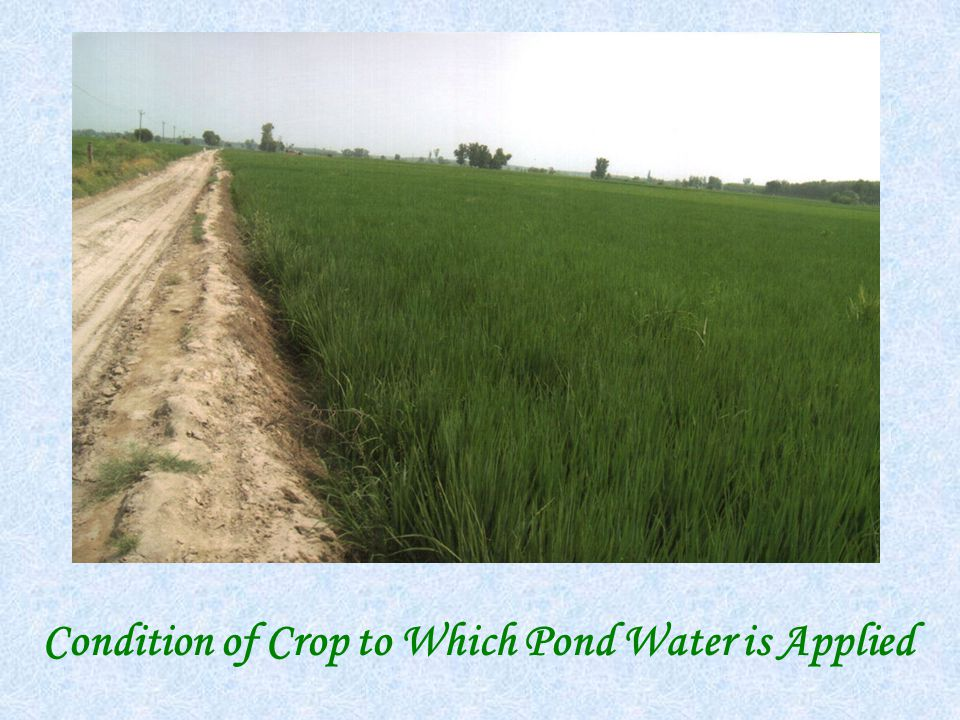 Condition of Crop to Which Pond Water is Applied
