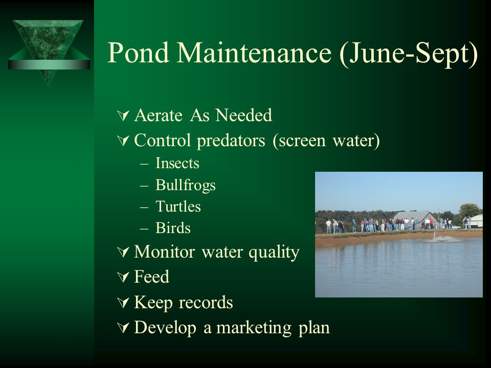 Pond Maintenance (June-Sept)  Aerate As Needed  Control predators (screen water) –Insects –Bullfrogs –Turtles –Birds  Monitor water quality  Feed  Keep records  Develop a marketing plan