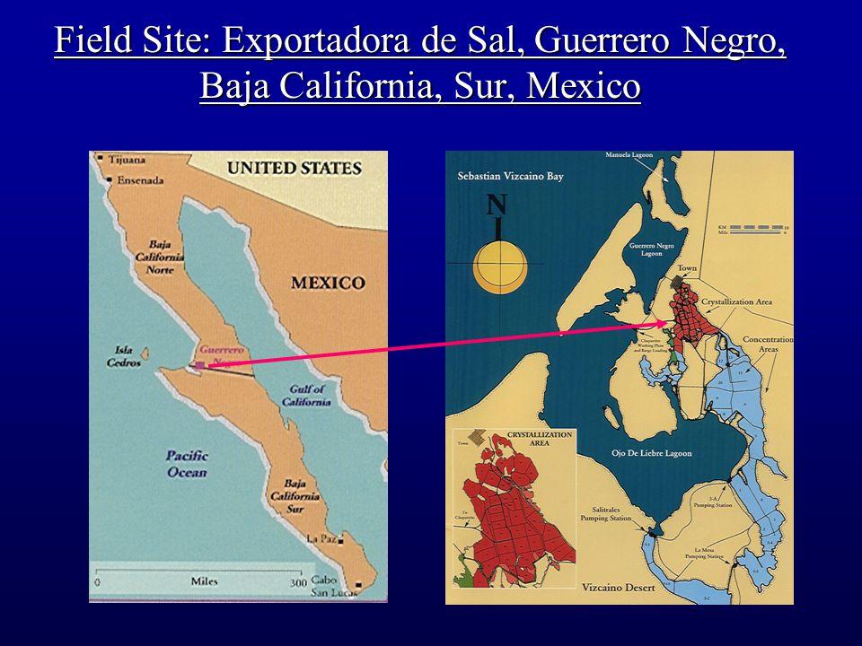 Field Site: Exportadora de Sal, Guerrero Negro, Baja California, Sur, Mexico