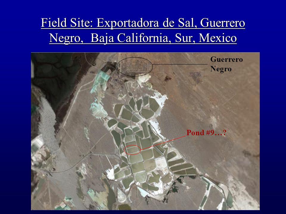 Guerrero Negro Pond #9…