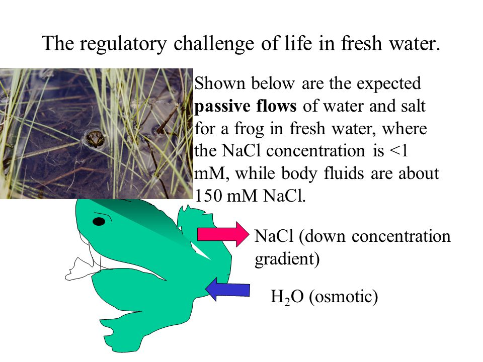 The regulatory challenge of life in fresh water.