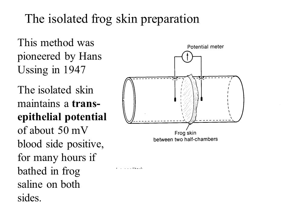 The isolated frog skin preparation This method was pioneered by Hans Ussing in 1947 The isolated skin maintains a trans- epithelial potential of about 50 mV blood side positive, for many hours if bathed in frog saline on both sides.