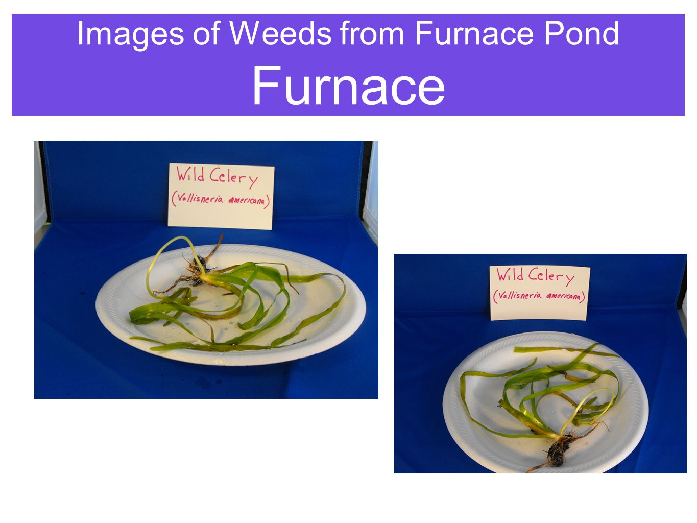 Images of Weeds from Furnace Pond Furnace