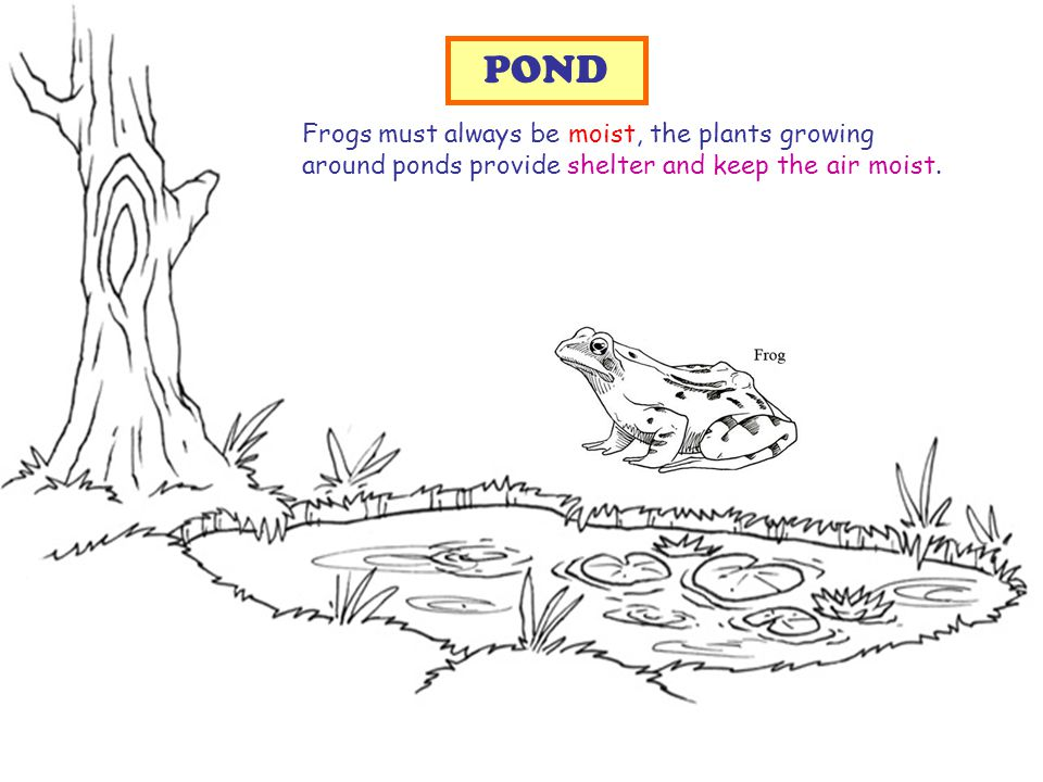 Frogs must always be moist, the plants growing around ponds provide shelter and keep the air moist.