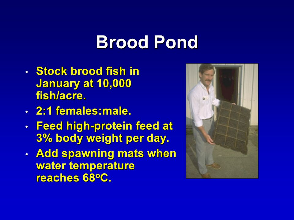 Brood Pond Stock brood fish in January at 10,000 fish/acre.