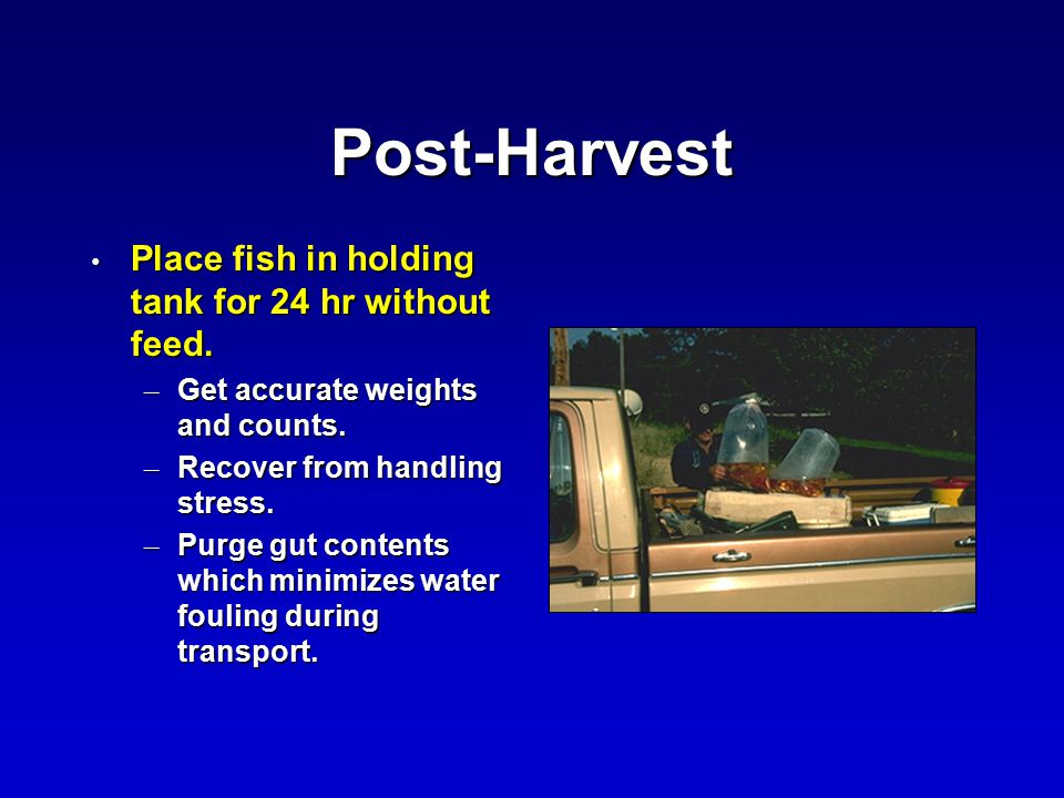 Post-Harvest Place fish in holding tank for 24 hr without feed.