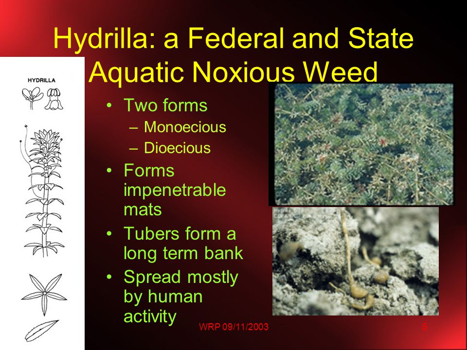 WRP 09/11/20035 Hydrilla: a Federal and State Aquatic Noxious Weed Two forms –Monoecious –Dioecious Forms impenetrable mats Tubers form a long term bank Spread mostly by human activity