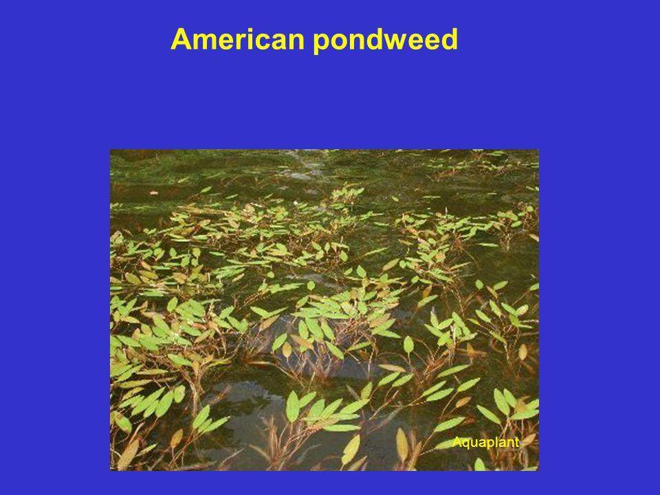 American pondweed Aquaplant