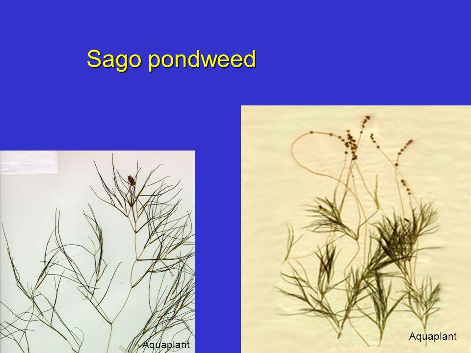 Sago pondweed Aquaplant
