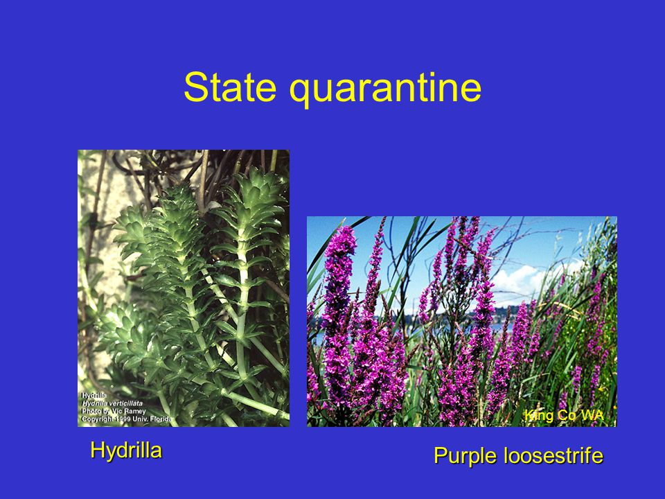 State quarantine Hydrilla Purple loosestrife King Co WA