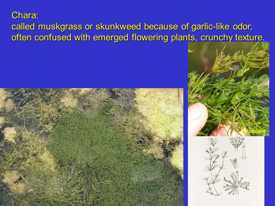Chara: called muskgrass or skunkweed because of garlic-like odor, often confused with emerged flowering plants, crunchy texture often confused with emerged flowering plants, crunchy texture.