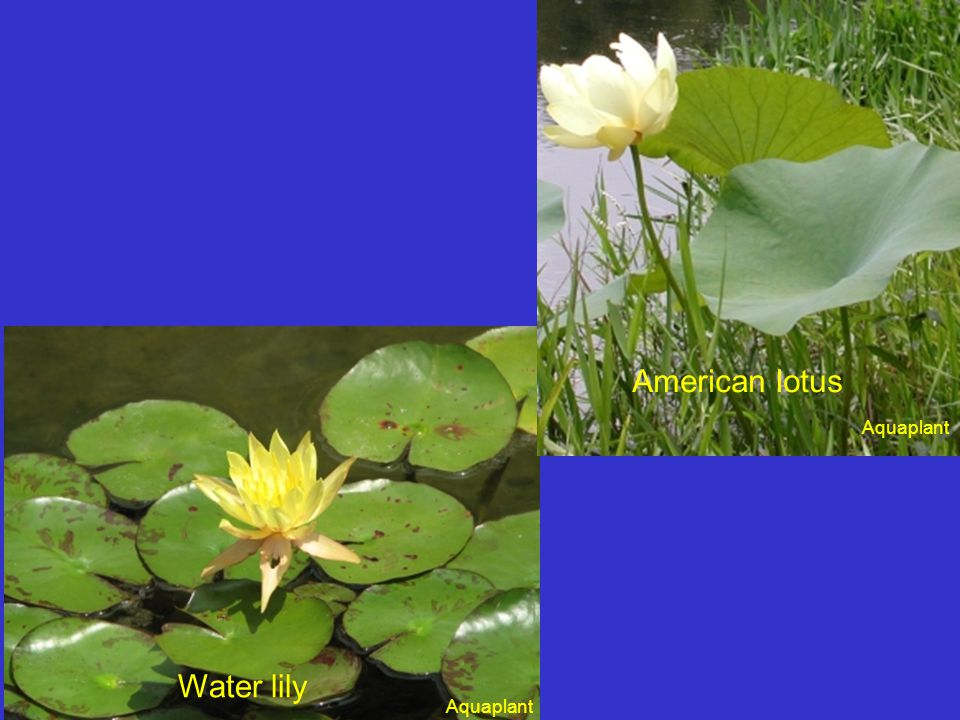 Duckweed or watermeal?