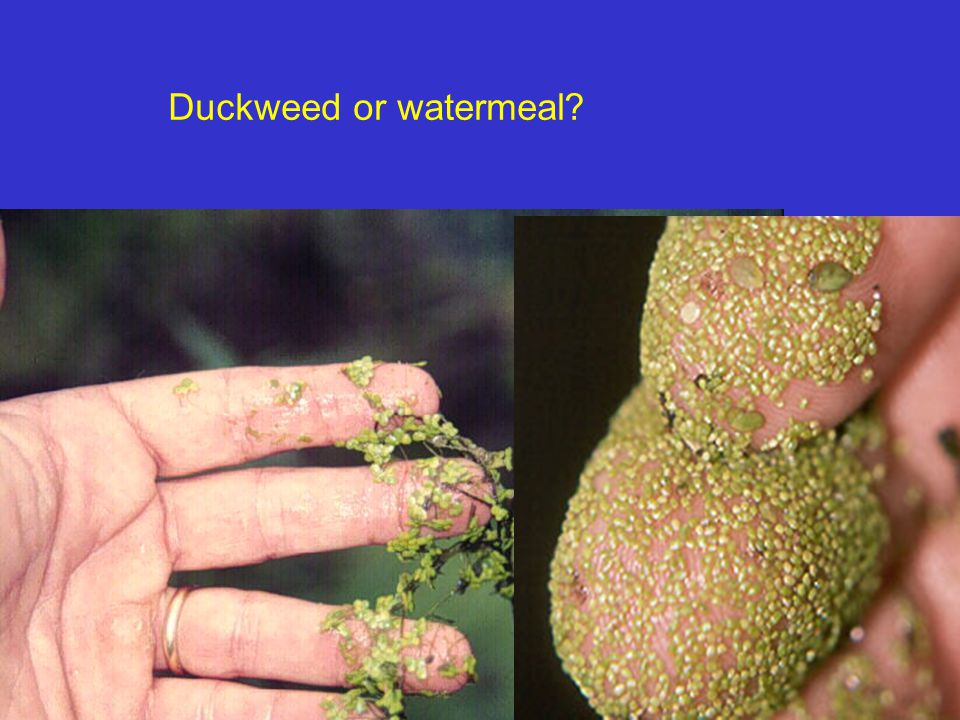 Duckweed or watermeal