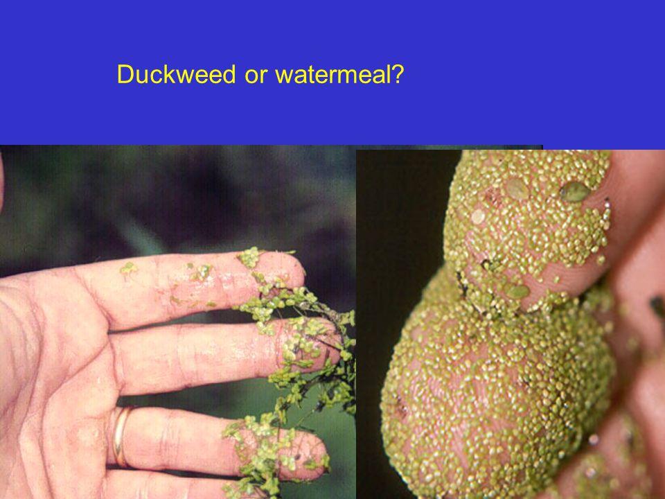 Response of common aquatic weeds to herbicides Aquatic groupcopper and weedcomplexes2, 4-D*diquat*endothall*fluridoneglyphosate Algae planktonicEPPPPP filamentousEPEG (hydro)PP chara EPGG (hydro)PP nitellaEPGG (hydro)PP Floating Plants bladderwortPG (gran)EE duckweedsPG (LV)GPE water hyacinthPEEPG watermealPPP-FF-G