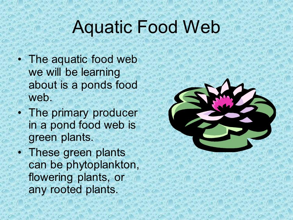 Aquatic Food Web The aquatic food web we will be learning about is a ponds food web. The primary producer in a pond food web is green plants. These gr