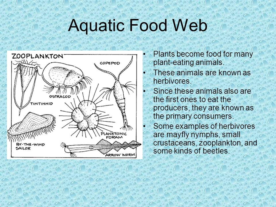 Aquatic Food Web Plants become food for many plant-eating animals. These animals are known as herbivores. Since these animals also are the first ones