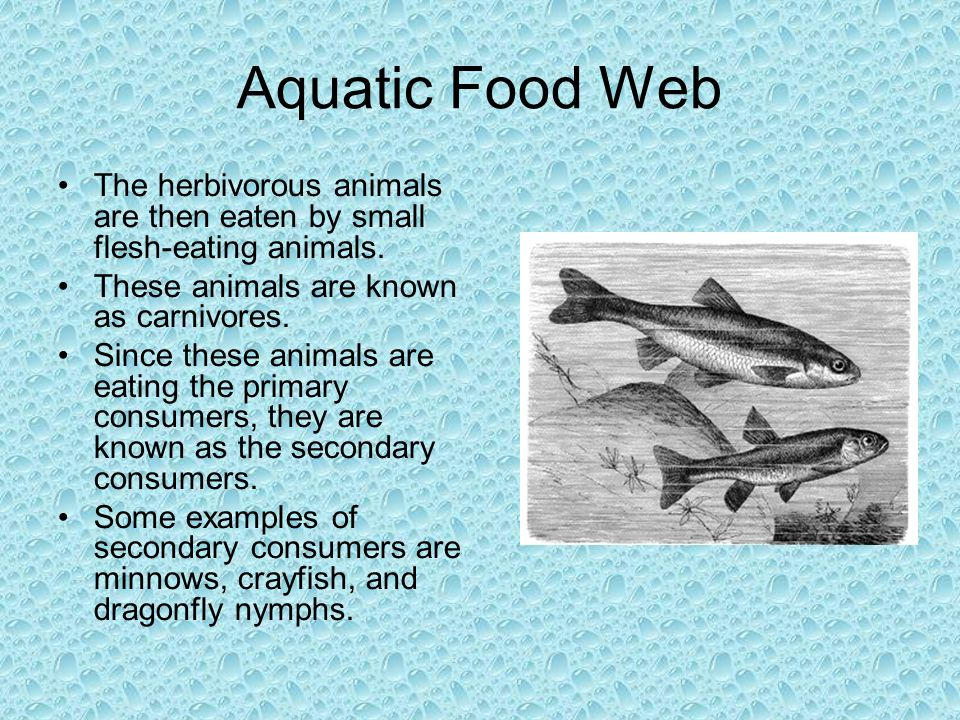 Aquatic Food Web The herbivorous animals are then eaten by small flesh-eating animals. These animals are known as carnivores. Since these animals are