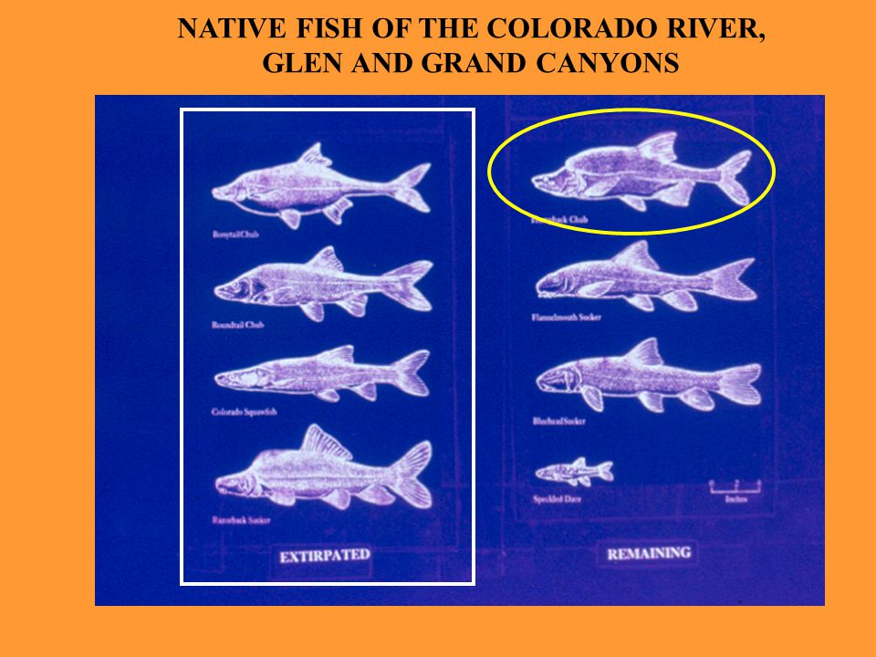 NATIVE FISH OF THE COLORADO RIVER, GLEN AND GRAND CANYONS