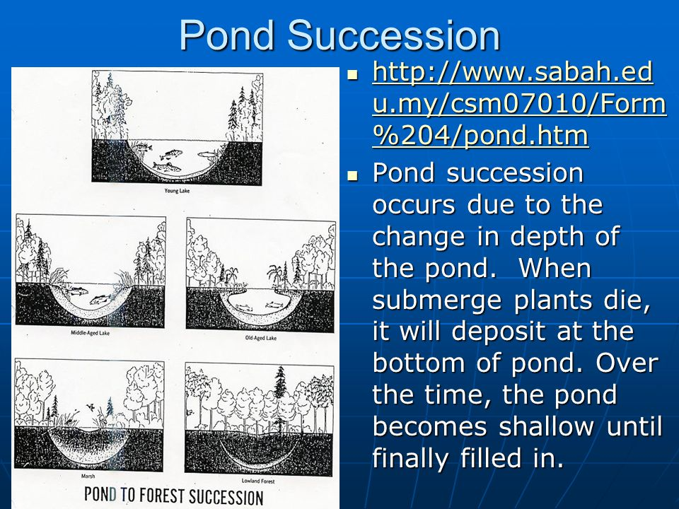 Pond Succession http://www.sabah.ed u.my/csm07010/Form %204/pond.htm http://www.sabah.ed u.my/csm07010/Form %204/pond.htm http://www.sabah.ed u.my/csm07010/Form %204/pond.htm http://www.sabah.ed u.my/csm07010/Form %204/pond.htm Pond succession occurs due to the change in depth of the pond.