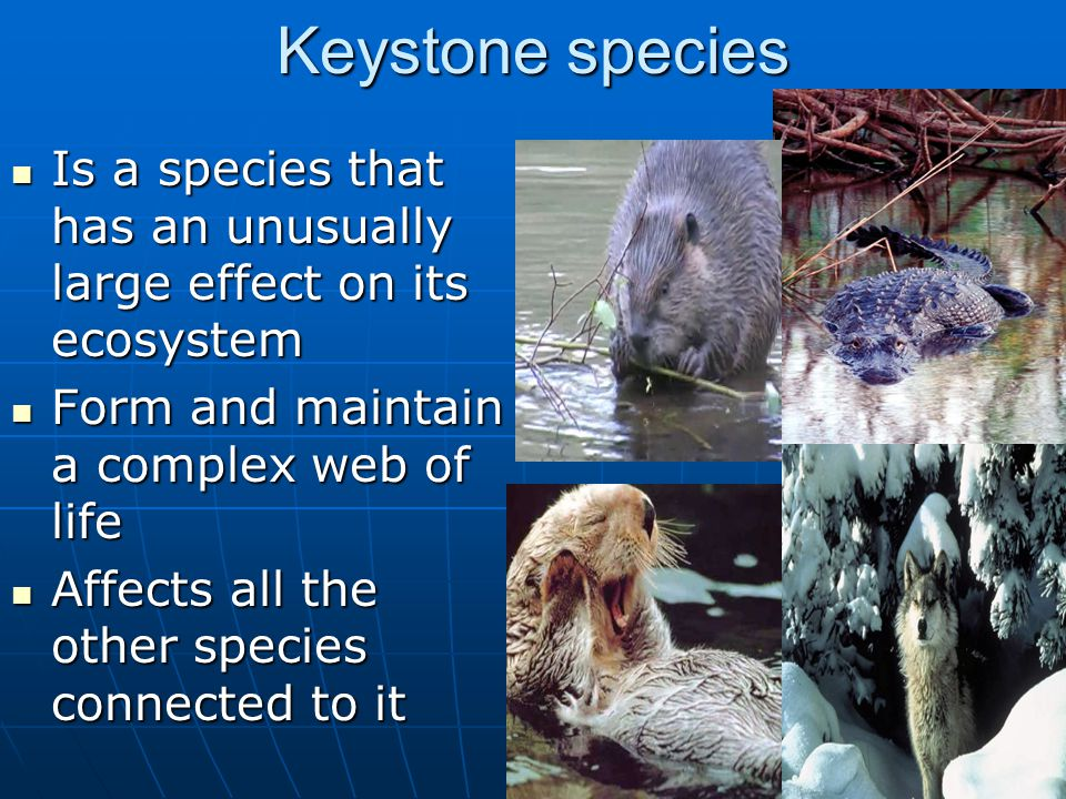 Keystone species Is a species that has an unusually large effect on its ecosystem Is a species that has an unusually large effect on its ecosystem Form and maintain a complex web of life Form and maintain a complex web of life Affects all the other species connected to it Affects all the other species connected to it