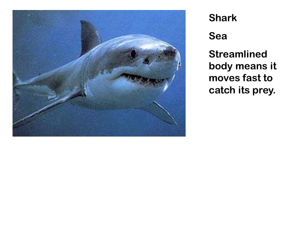 Shark Sea Streamlined body means it moves fast to catch its prey.