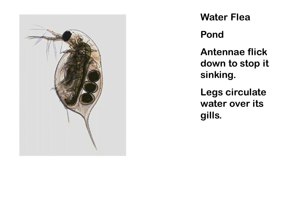 Water Flea Pond Antennae flick down to stop it sinking. Legs circulate water over its gills.