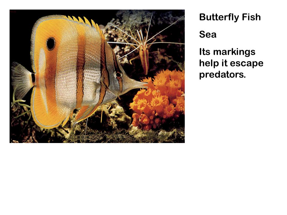 Butterfly Fish Sea Its markings help it escape predators.
