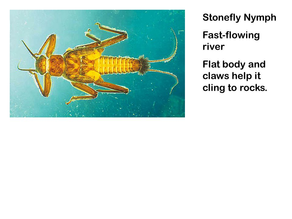 Stonefly Nymph Fast-flowing river Flat body and claws help it cling to rocks.