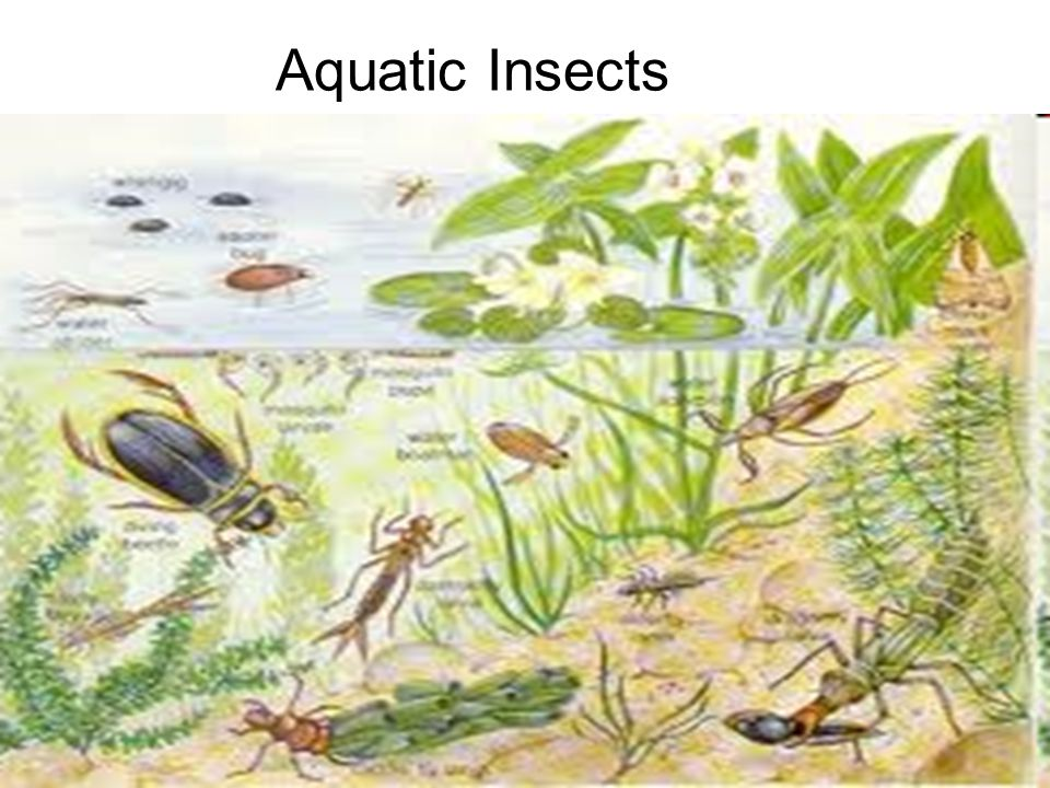 17 Aquatic Insects