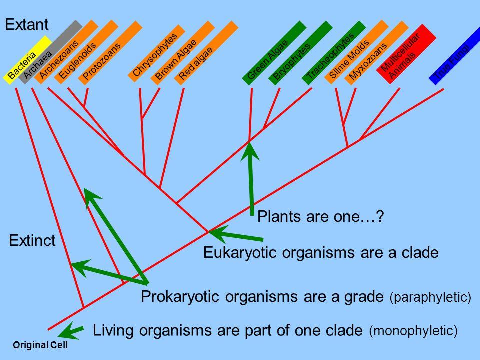 Multicellular Animals MyxozoansProtozoans Tracheophytes Bryophytes True Fungi Slime Molds Red algaeBrown AlgaeGreen Algae Chrysophytes EuglenoidsArchezoans Archaea Bacteria Original Cell Extant Extinct Living organisms are part of one clade (monophyletic) Eukaryotic organisms are a clade Prokaryotic organisms are a grade (paraphyletic) Plants are one…?